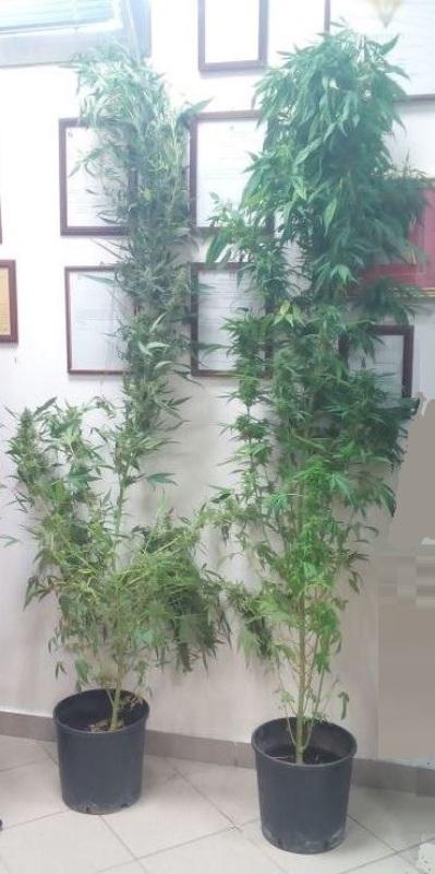Cronaca carovigno coltivavano piante di marijuana in una serra artigianale - Piante in bagno ...